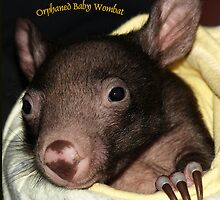 Orphaned baby wombat in Wildlife Care.Gippsland, Australia by Bev Pascoe
