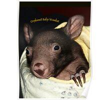Orphaned baby wombat in Wildlife Care.Gippsland, Australia Poster