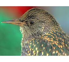 Starling Portrait  Photographic Print