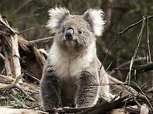Koala in the Otways, Vic. Australia by Bev Pascoe