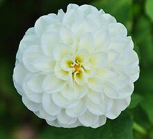 White Dahlia by nag71