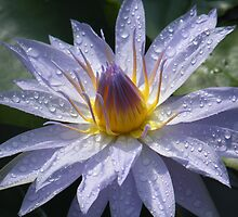 Purple flowering water lilly by nag71