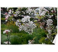 Apple Blossom In Trees Poster
