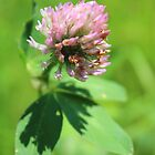 Red Clover by vitez-art