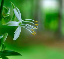 Delicate Spider Plant Blossom by Gene Walls