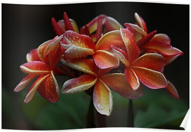 Christmas Frangipani 2012 by Keith G. Hawley