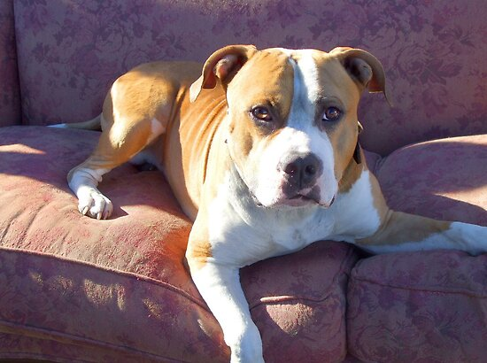 Pitbull on a couch by ritmoboxers