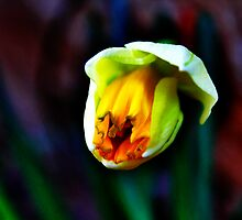 Daffodil Bloom by EBArt