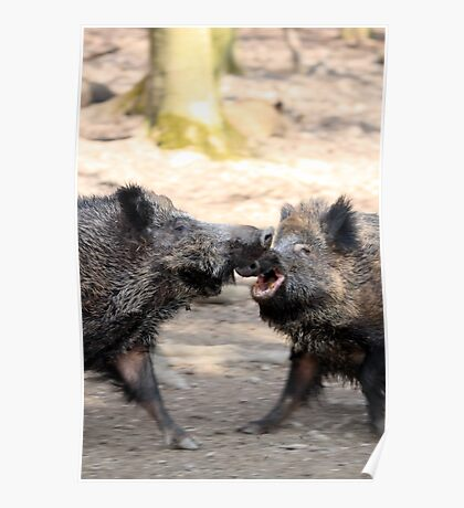 fighting wild boars Poster