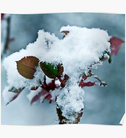 Winter Rose Bush Poster