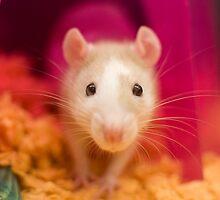 Fancy Rat by Jeffrey Ralph