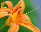 Indian Park Lily by Gene Walls