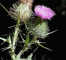 """The """"Common"""" or """"Spear"""" Thistle (Cirsium vulgare) by Gene Walls"""