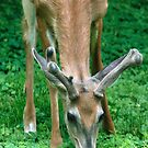 Yearling Buck in the Clover by Gene Walls