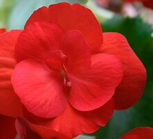 Ruby Red Begonia by Gene Walls
