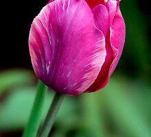 Lone Tulip by Gene Walls