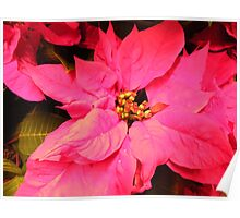 Poinsetta Close-Up Poster