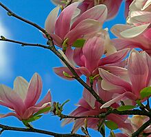 Velvety Magnolia Blossoms by Gene Walls