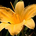 Perfect Golden Lily  by Gene Walls