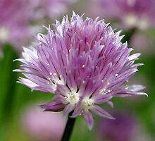 Chive Flower & Bokeh by Gene Walls