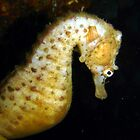 Sea horse by peterperry