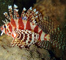 Dwarf Lion Fish by peterperry