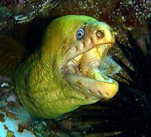 Mooray Eel by peterperry
