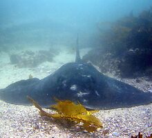 Bull Ray by peterperry