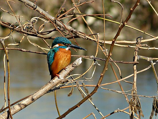 A Kingfisher in a Bare Tree by kibishipaul