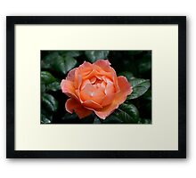 Fellowship rose Framed Print