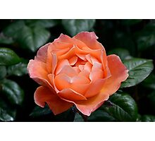 Fellowship rose Photographic Print