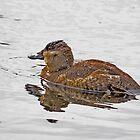 Ruddy Duck Enjoying a Quite Christmas Morning by imagetj