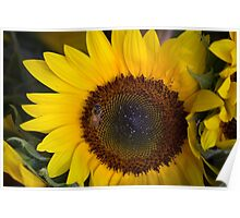 Beezy Sunflower Poster
