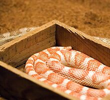 Snake-In-A-Box ...and one out by Gene Walls