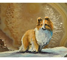Shetland Sheepdog~~Sheltie Photographic Print