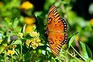 Wings of the Gulf Fritillary Butterfly by Gene Walls