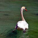 Paddling Swan by John Maxwell