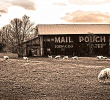 MAIL POUCH TOBACCO BARN AND SHEEP by Randy Branham