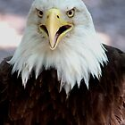 American Bald Eagle by Brad Sumner