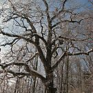 Winter Hickory by Ron Russell
