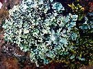 Lichen # 43 by Frederick James Norman