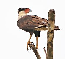 Crested Caracara by SuddenJim