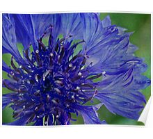 Cornflower so blue Poster