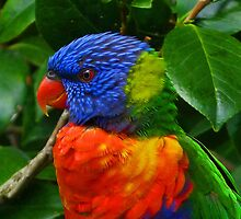 Rainbow Lorikeet Deep In Thought by Margaret Saheed