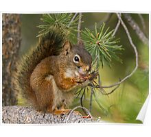 Red Squirrel eating pine nuts . Poster