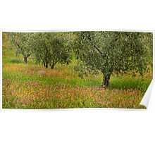 Olive Trees in Tuscany Poster