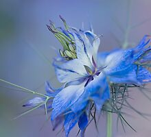 Love-in-a-mist by Jacky Parker