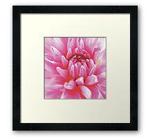 A PINKY CHRYSANTHEMUM FLOWER Framed Print