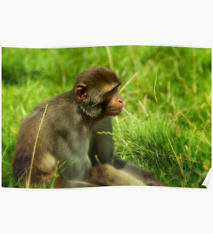 Monkey in the grass Poster