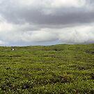 Tea field, Mauritius by JenniferLouise
